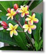 Plumeria Flowers 5 Metal Print