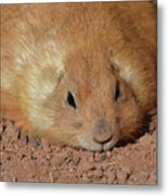 Plump Resting Prairie Dog Laying Down Metal Print