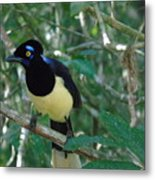 Plush-crested Jay   Cyanocorax Chrysops Metal Print