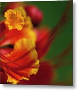 Poinciana Metal Print