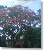 Poinciana In Summer Time Metal Print
