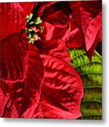 Poinsettias - Flaming Reds Metal Print