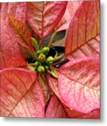Poinsettias -  Pinks In The Center Metal Print