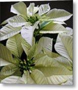 Poinsettias -  Winter White At Night Metal Print