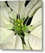 Poinsettias -  Winter White Center Metal Print