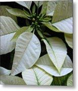 Poinsettias -  Winter Whites In Contrast Metal Print