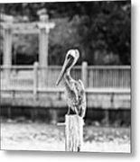 Point Clear Alabama Brown Pelican - Bw Metal Print