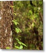 Poison Ivy Climbing Oak Tree Trunk Metal Print
