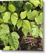 Poison Oak Vine - Toxicodendron Metal Print