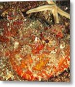 Poisonous Stone Fish, Scorpaena Mystes Metal Print