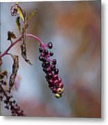 Pokeweed Berries 20121020_134 Metal Print