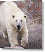 Polar Bear Prowl  Metal Print
