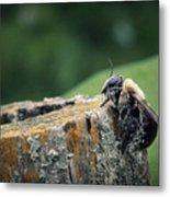 Pollen Dusted Bee Metal Print