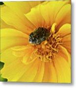 Pollen Feeding Beetle Metal Print