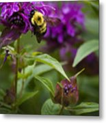 Pollinating Bumble Bee Metal Print