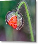 Popping Poppy Metal Print