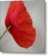 Poppy After The Rain Metal Print