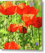 Poppy Garden I Metal Print