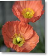 Poppys Metal Print by Barry Culling