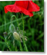 Poppy's Course Of Life Metal Print