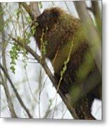 Porcupine Eating Leaves Metal Print