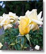 Portland Roses #3 Metal Print