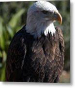 Portrait Bald Eagle  Metal Print