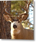 Portrait Of A 15-point Buck Metal Print