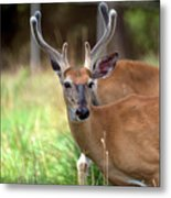 Portrait Of A Beautiful Buck  Metal Print