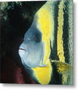 Portrait Of A Cortez Angelfish Metal Print