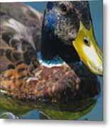 Portrait Of A Duck Metal Print