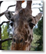 Portrait Of A Giraffe Metal Print