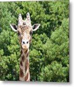 Portrait Of A Giraffe Metal Print