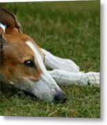 Portrait Of A Greyhound - Soulful Metal Print