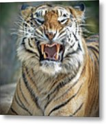 Portrait Of A Growling Tiger  Metal Print