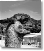 Portrait Of A Llama Mafia Leader Metal Print