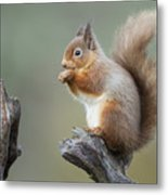 Portrait Of A Red Squirrel  Metal Print