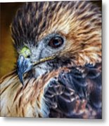 Portrait Of A Red-tailed Hawk Metal Print