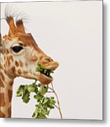 Portrait Of A Rothschild Giraffe IIi Metal Print