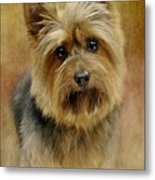 Portrait Of A Silky Terrier Metal Print by Stephanie Calhoun