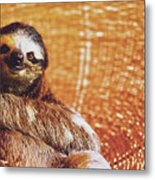 Portrait Of A Sloth Pet Looking In The Camera Metal Print