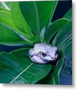 Portrait Of A Tree Frog Metal Print