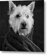 Portrait Of A Westie Dog 8x10 Ratio Metal Print