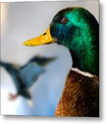 Portrait Of Duck 2 Metal Print by Bob Orsillo