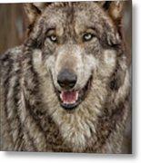 Portrait Of Gray Wolf Metal Print