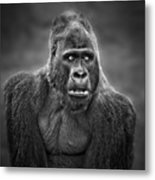 Portrait Of King Kongs Cousin IIi Metal Print