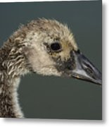Portrait Of Month Old Canada Goose Gosling Metal Print