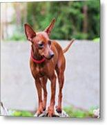 Portrait Of Red Miniature Pinscher Dog Metal Print