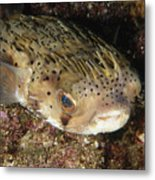 Porupinefish Close-up Portrait Sleeping Metal Print by James Forte