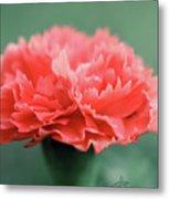 Posh Carnation Metal Print